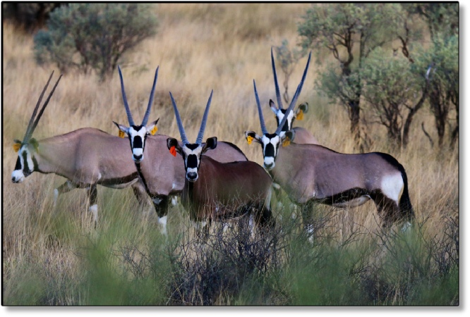 Red Oryx or Royal Oryx picture