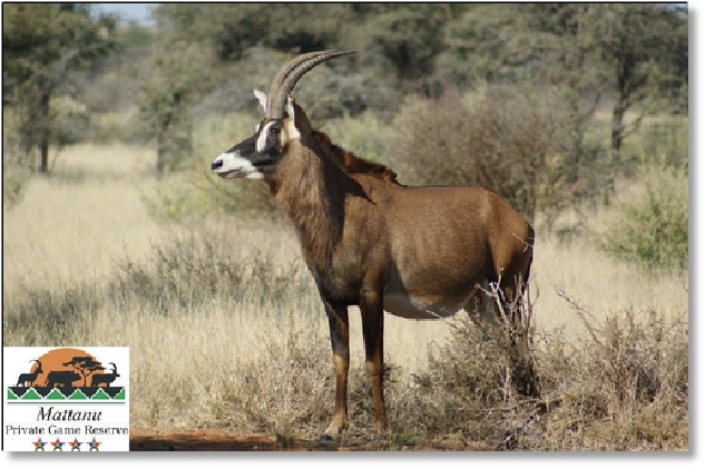 Roan antelope female